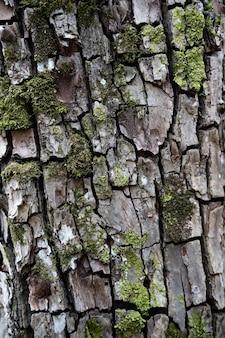 Tree bark in moss closeup wooden texture perennial oak