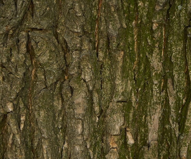 Tree bark texture - acacia. wall for web page fill or graphic design. pattern. map for 3d texture. wooden