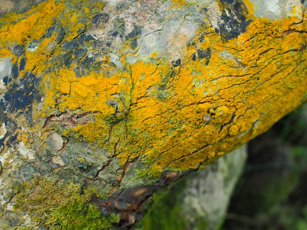 Tree bark with yellow moss. branch and log in a green forest