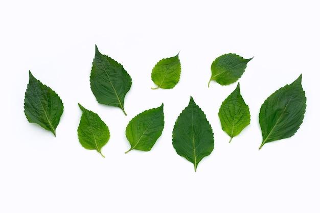 나무 바질 잎 (ocimum gratissimum) 흰색 배경에.