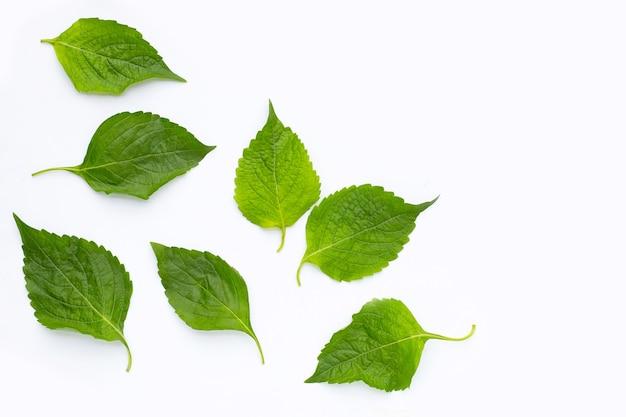 Tree basil leaves (ocimum gratissimum) on white background.