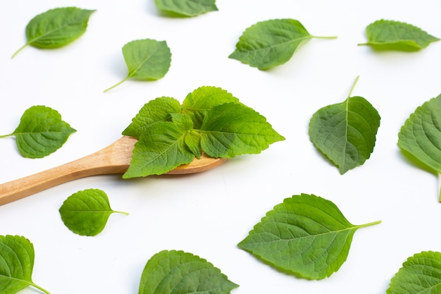 Tree basil leaves (ocimum gratissimum) in wooden spoon on white background.