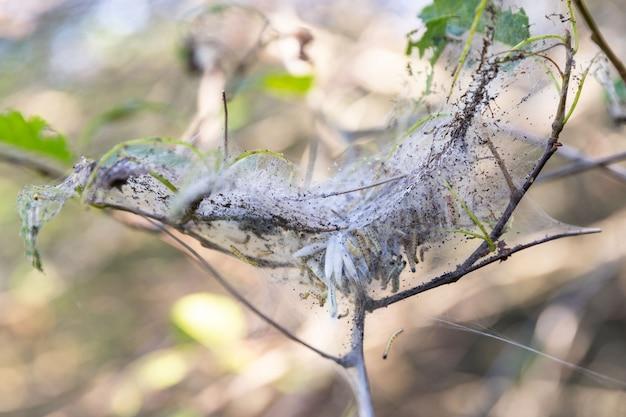 Дерево черемуха в саду, зараженная веретеном, гусеницы моли горностая