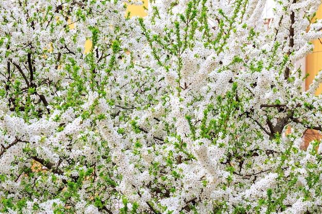 春の日に白い花が咲く木。