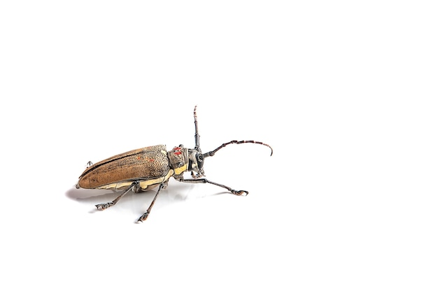Tree borer (batocera rufomaculata) isolated on a white background