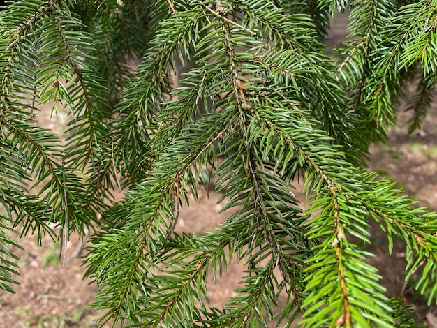 Ветвь дерева крупным планом зеленые ветви елки растут в лесу
