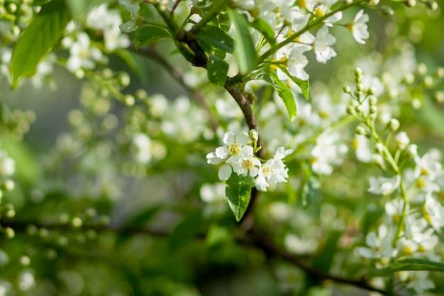 Ветвь дерева покрыта белыми цветами