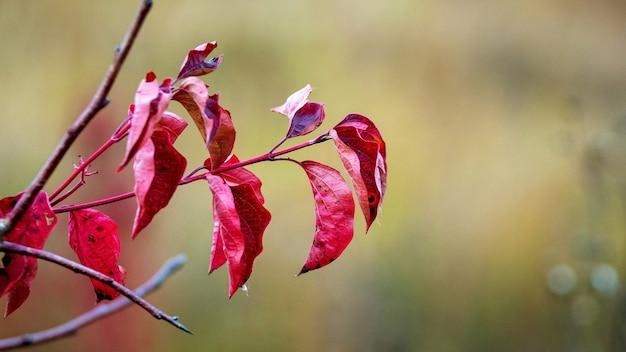 背景をぼかした写真に濃い赤の紅葉を持つ木の枝