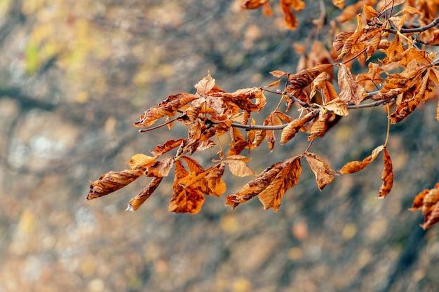ぼやけた背景に森の中の乾燥した秋の葉を持つ木の枝