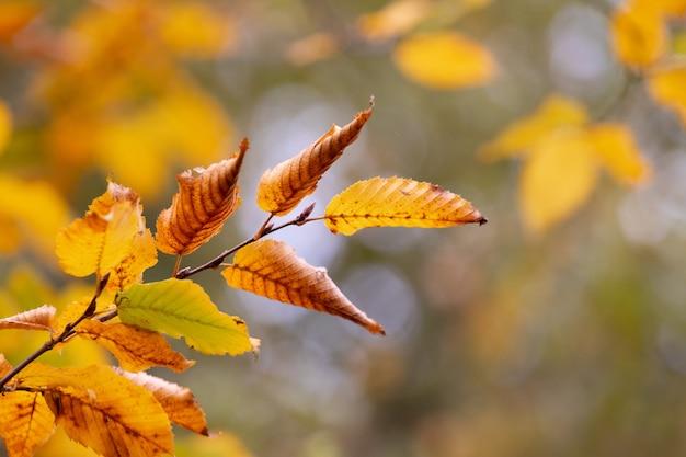 ぼやけた背景に乾燥した秋の葉を持つ木の枝