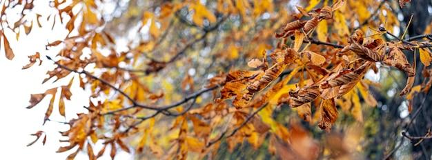 乾燥した紅葉、パノラマの木の枝