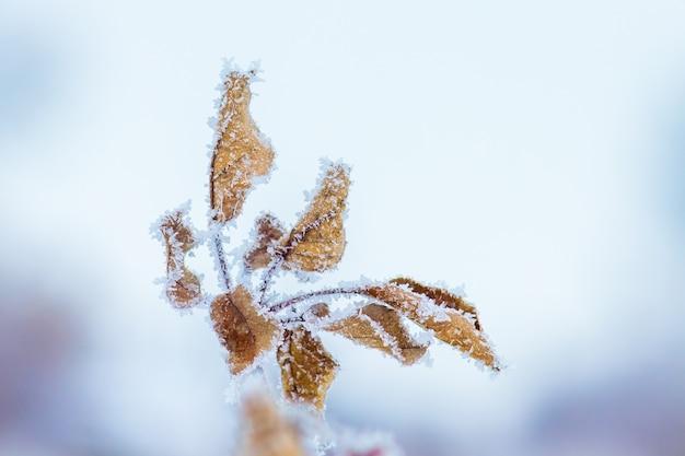 青い背景に霜で覆われた乾燥した葉を持つ木の枝_