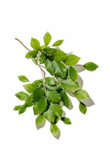 Tree branch with fresh leaves on white backgrount