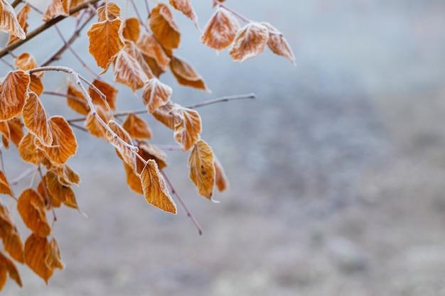 흐릿한 배경에 서리 덮인 잎이 있는 나뭇가지