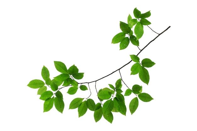 緑の葉を持つ木の枝は、白い背景で隔離します。