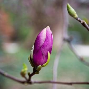 목련 꽃과 나무 가지입니다. 이른 봄에 목련 꽃 봉오리입니다. 목련 개화의 시작. 어린 꽃 봉오리가 있는 이른 봄의 목련 나무.