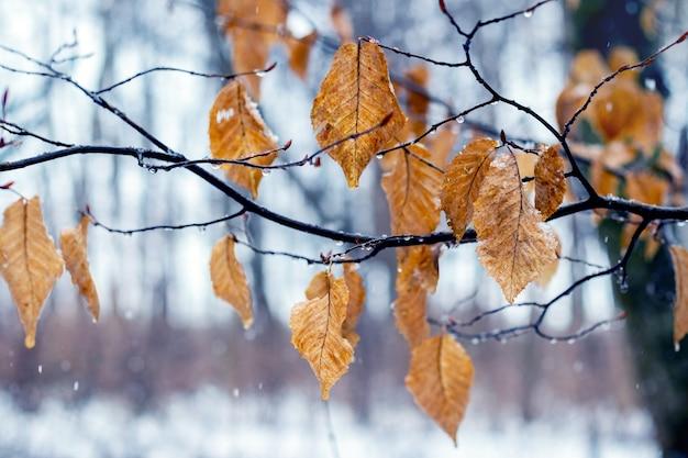Ветка дерева с увядшими листьями зимой в оттепель или поздней осенью в сырую погоду