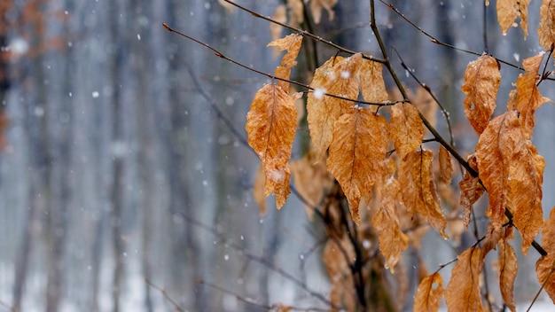 Ветка дерева с засохшими листьями зимой в оттепель или поздней осенью в сырую погоду