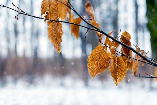 해빙 중 겨울에 시든 잎이 있는 나뭇가지 또는 습한 날씨에 늦가을