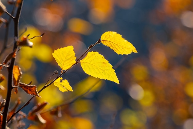晴れた日の暗い背景の森の黄色い紅葉と木の枝