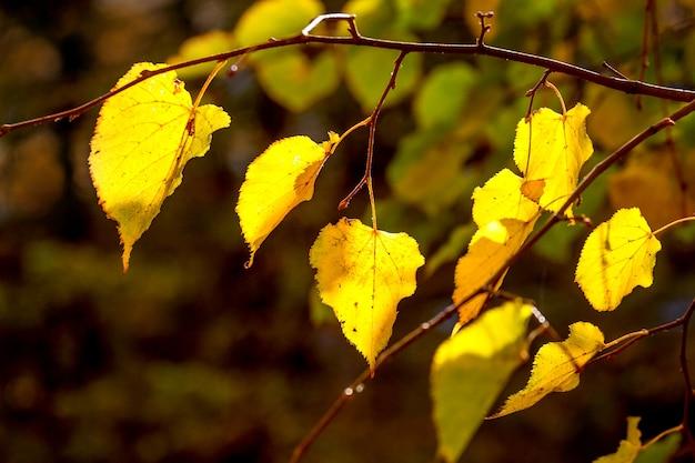Ветвь дерева с желтыми осенними листьями на темном фоне в солнечную погоду
