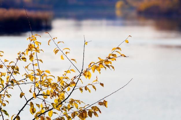 川沿いの黄色い金色の紅葉の木の枝