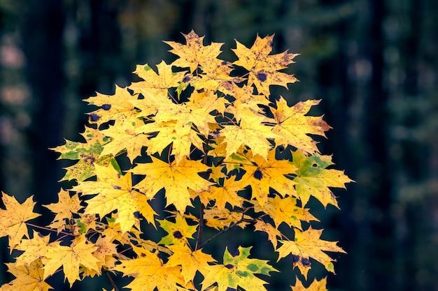 秋の暗い森の黄色いカエデの葉と木の枝