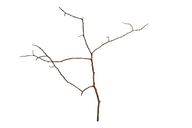 Tree branch without leaves isolated on white background