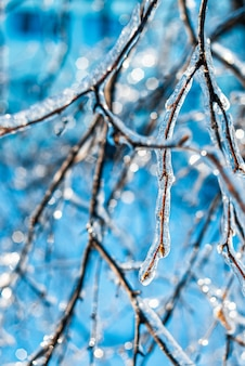 Tree branches covered with shiny ice and icicles. frosty snowy weather in the forest.