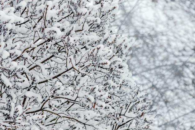 雪に覆われた木の枝。冬の背景_