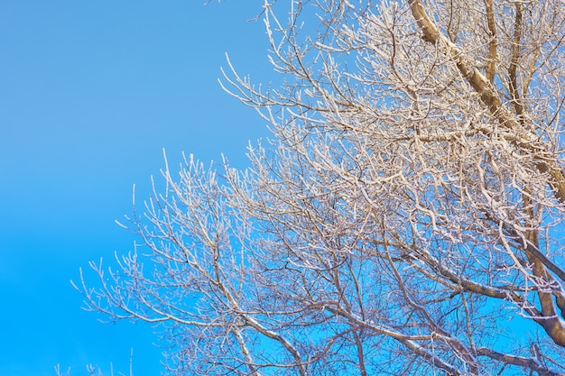 Tree branches in the frost on a blue sky background.