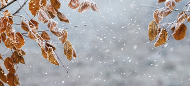 降雪時にぼやけた背景に乾燥した葉を持つ木の枝