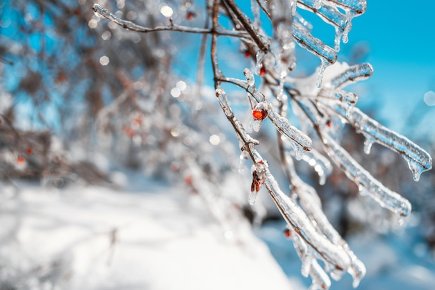 Tree branches with red berries covered with sparkling snow and ice. winter forest.