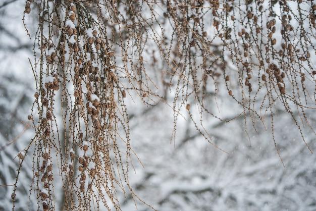 冬の背景に小さな円錐形の木の枝