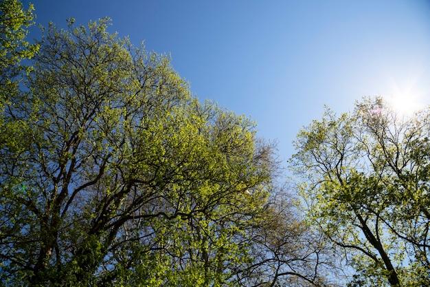 푸른 하늘 배경, 여름 배경에 어린 녹색 잎이 있는 나뭇가지