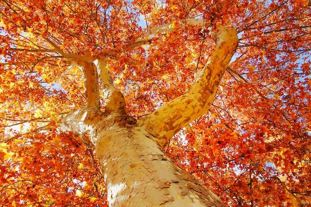 Навес дерева осенью красноватого и оранжевого цветов.