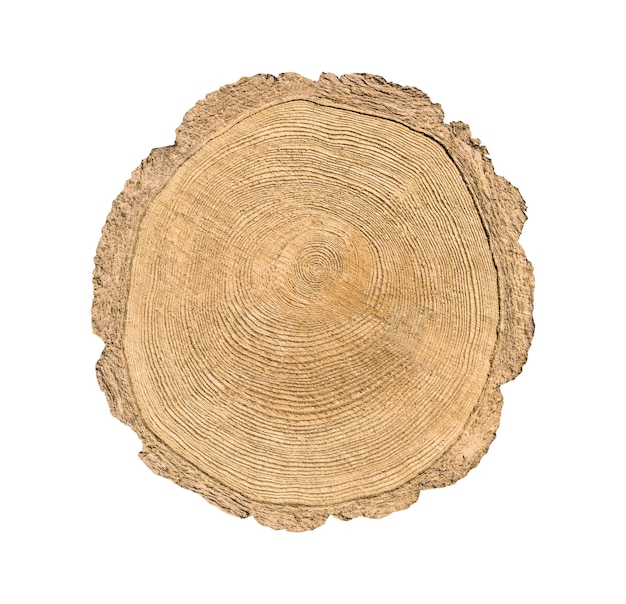 Tree cut trunk isolated on white background. stump with circular annual rings