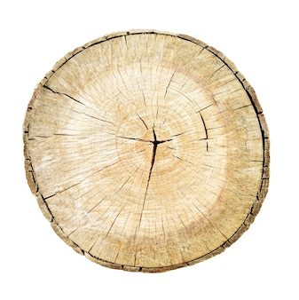 Tree cut trunk isolated on white background. stump with wood rings textures