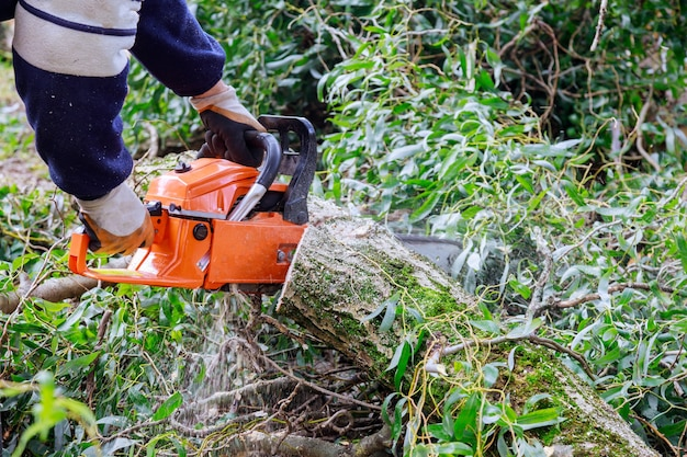 Tree felling with a large chainsaw cutting into tree trunk motion blur sawdust and chippings an uprooted broken tree, torn by the wind during a violent storm