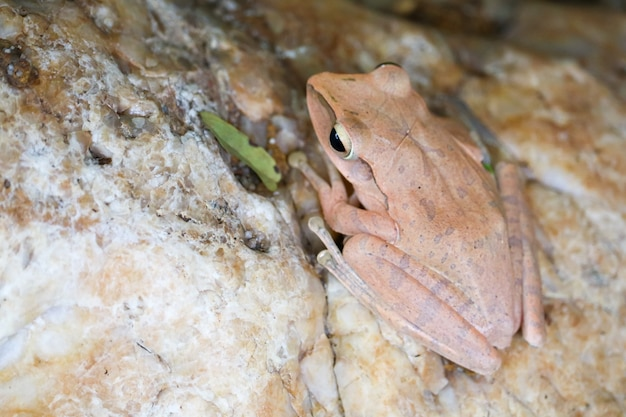 Tree frog hide top of stone by adjusting the skin