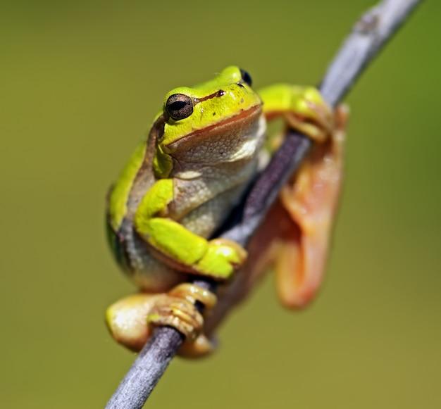 春の自然生息地にいるアマガエル