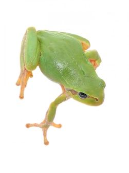 Tree frog isolated on white background