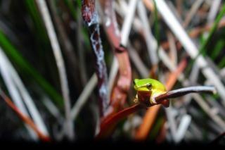 Tree frog  reeds  frog