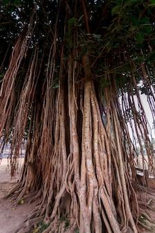 인도네시아 자바 섬에 있는 덩굴식물의 나무