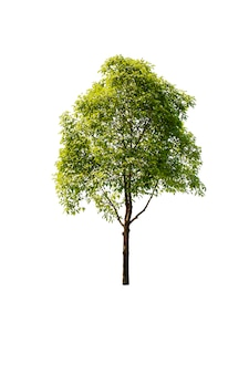 Tree in garden isolated on white background