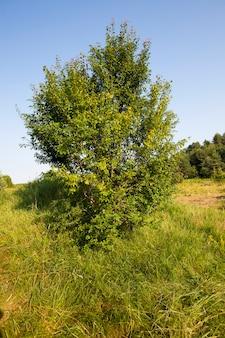 夏に畑で育つ木