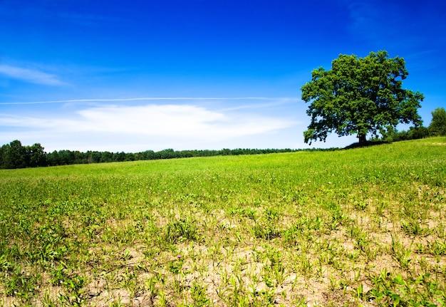 Дерево, растущее в поле летом