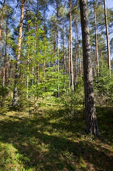 Дерево, растущее в смешанном лесу