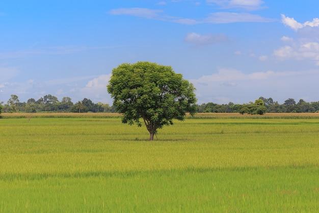田んぼの真ん中の木