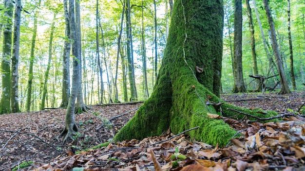 コケの木。ロシア、ソチ近郊の森でのハイキング。